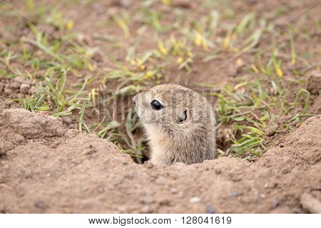A baby gopher looking away from camera.