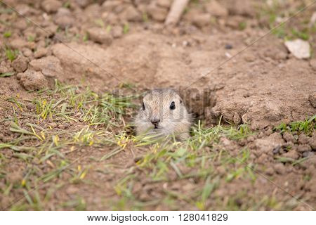 A baby gopher peaking its head out of the hole.