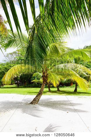 Palm tree on a tropical white sand seychelles