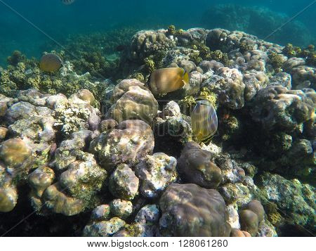 Butterfly fish and coral reef, underwater landscape, tropical sea landscape, grey corals and coral fishes, butterfly fish in the sea, clear sea inhabitants, sea animals photo, coral reef snorkeling
