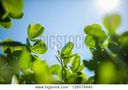 Picture Of Green Clover Field With Sky