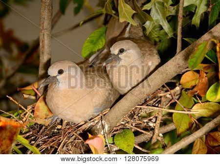 Dove couple are nesting in a small shrub bush.