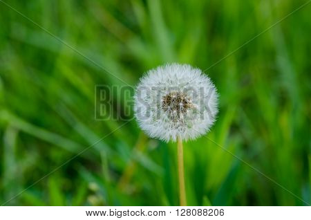 A close-up macro shot of a single dandelion in the seed head stage.