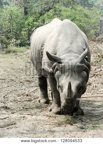 A close up of a one horned rhino in Nepal.