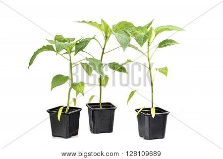 Three Seedlings Paprika (Capsicum Peppers) Plan Vegetable isolated on White Background