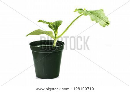 Cucumber Seedlings Vegetable Plant isolated on White Background