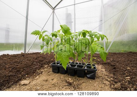 Seedlings Tomatoes Plant Vegetable in Small Greenhouse ready for Spring Planting Vegetable
