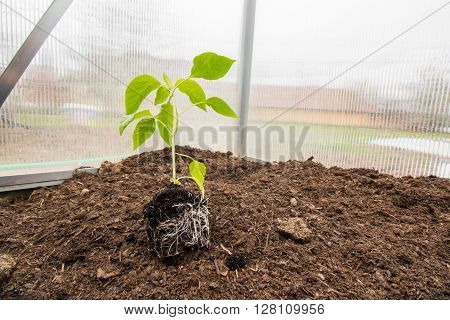 Seedling Paprika (Capsicum Peppers) Plants with root System in Small Greenhouse Springtime