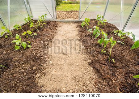 Green Spring planted plants Paprika (Capsicum Peppers) in Small Greenhouse