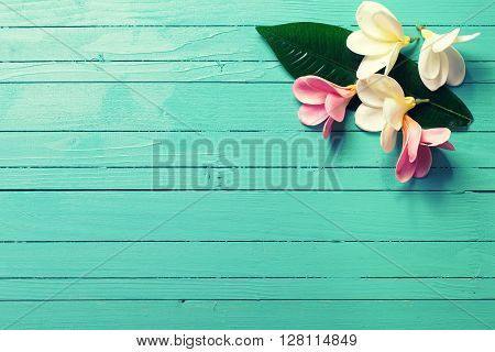 Background with white and pink tropical plumeria flowers on turquoise wooden background. Selective focos. Place for text.