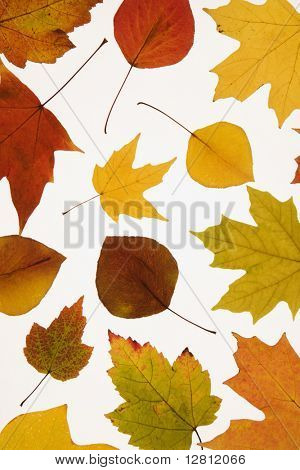 Leaves in Fall color against white background.
