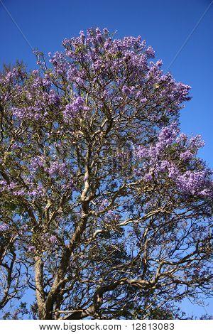 Jacaranda tree blooming with purple flowers against blue sky in Maui, Hawaii.