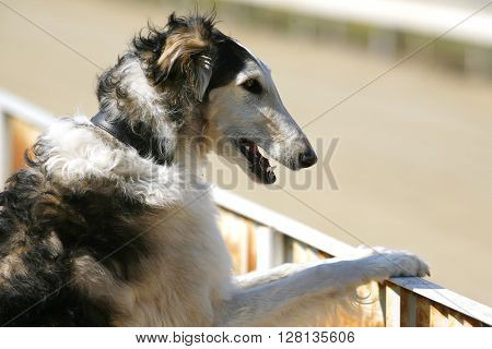 Head Of A Purebred  Russian Wolfhound Dog