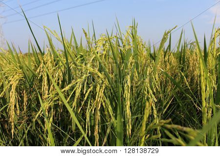 Rice is a grain of rice plants in the genus found in Asia . Scientific name : Oryza sativa , rice cereal , which is a major consumer of the world