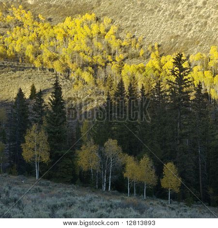 Landscape with Aspen trees in Fall color in Utah.