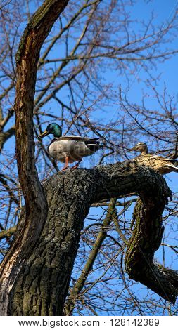 Wild ducks male and female sitting on the tree