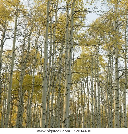 Aspen trees in Fall color in Utah.