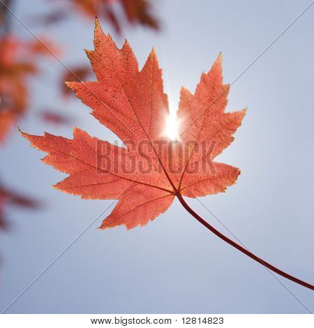 Single red autumn maple leaf with sun shinning through.