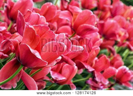 Beautiful pink tulips in the garden. Springtime natural scene. Vibrant colors. Big flowers. Close up photo.