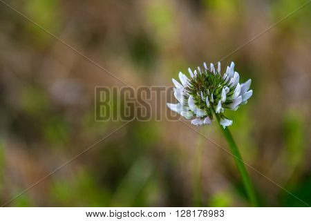 close up photo of a white clover flower