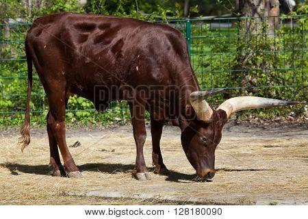 Ankole-Watusi (Bos taurus watusi), also known as Ankole Longhorn. Wild life animal.