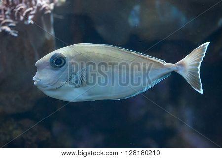 Bluespine unicornfish (Naso unicornis), also known as the short-nose unicornfish. Wild life animal.