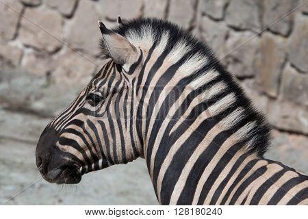 Burchell's zebra (Equus quagga burchellii), also known as the Damara zebra. Wild life animal.