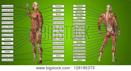 3D illustration of a concept or conceptual human man anatomy and muscle for sport and text on green background