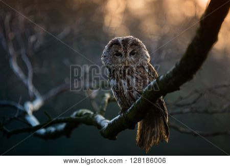 Portrait of a Tawny Owl (strix aluco) sitting on betula pendula branch