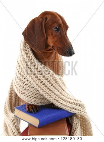 Dachshund in a scarf on the stack of books isolated on white.