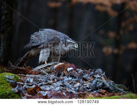 A male Goshawk feeding on pheasant in forest.