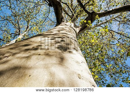 Massive American sycamore tree - Platanus occidentalis. Seasonal natural scene. Tree trunk close up. Looking up. Beauty in nature.