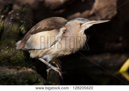 Little bittern (Ixobrychus minutus). Wild life animal.