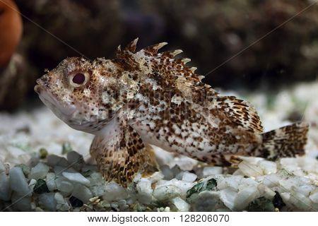Black scorpionfish (Scorpaena porcus). Wild life animal.