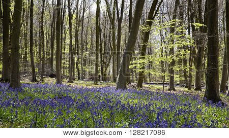 Bluebell wood, Micheldever, Hampshire UK