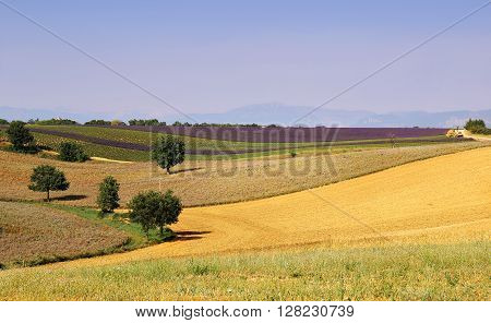 Southern France landscapes of Provence: Harvest lavender fields