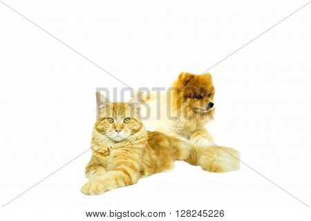 Cat Maine Coon with Pomeranian dog lying on white background