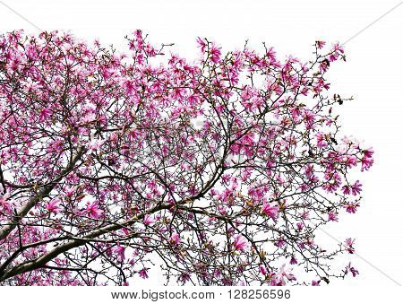 Spring flowers blooming on magnolia tree against white background in Central Park New York City