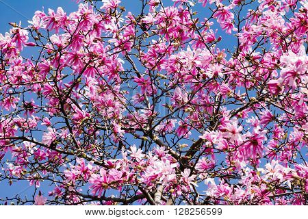 Pink blossoms on magnolia tree against blue sky background