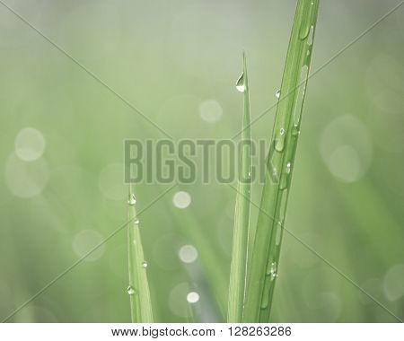 Little dewdrops shinning on blades of green grass in soft morning light. In vintage style.