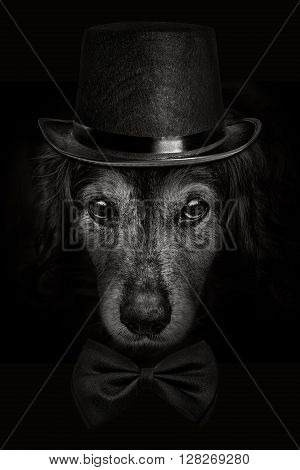 dark muzzle spaniel dog closeup in a hat and tie butterfly