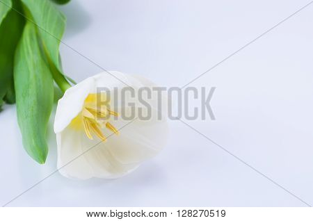Close up shot of white tulip on white background with copy space
