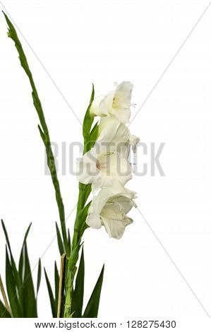 Long Stem Of Gladiolus Flowers
