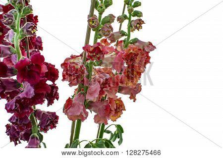 Purple Red Flowers On Stem