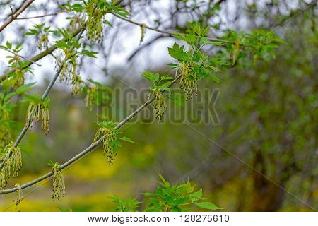 The branches of a flowering American maple