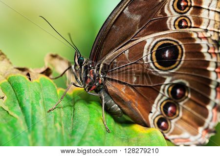 Morpho, Morphus,  butterfly of Cenatral America, Costa Rica