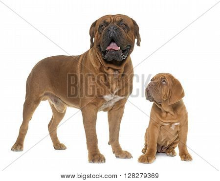 Bordeaux mastiff adult and puppy in front of white background