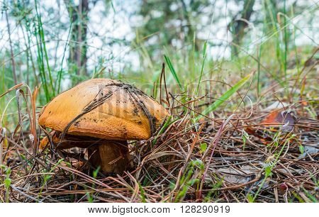 Greasers mushroom in the forest grows under pine needles