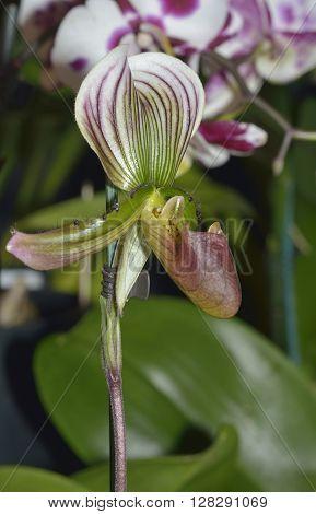 Callus Paphiopedilum Slipper Orchid - Paphiopedilum callosum From Thailand poster