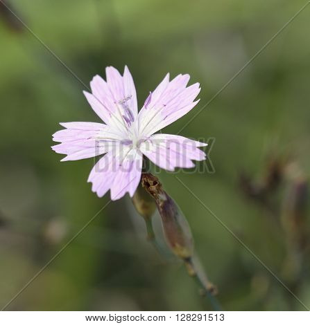 Dianthus strictus ssp. Troodi Endemic subspecies from Cyprus